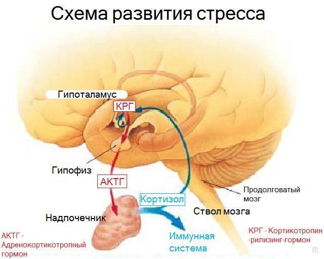 Gormon_vydelyaemyy_pri_silnom_stresse