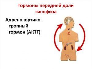 Golovnoi_mozg_gipofiz_kontroler